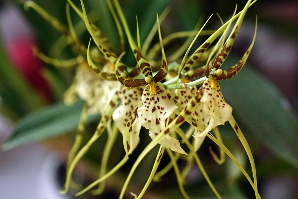 Orchidée Cambria Brassia