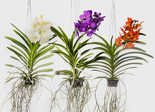 Orchidées vanda suspendues
