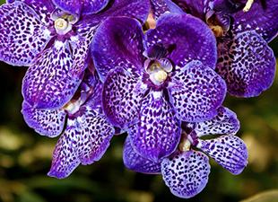 Orchidée vanda bleue