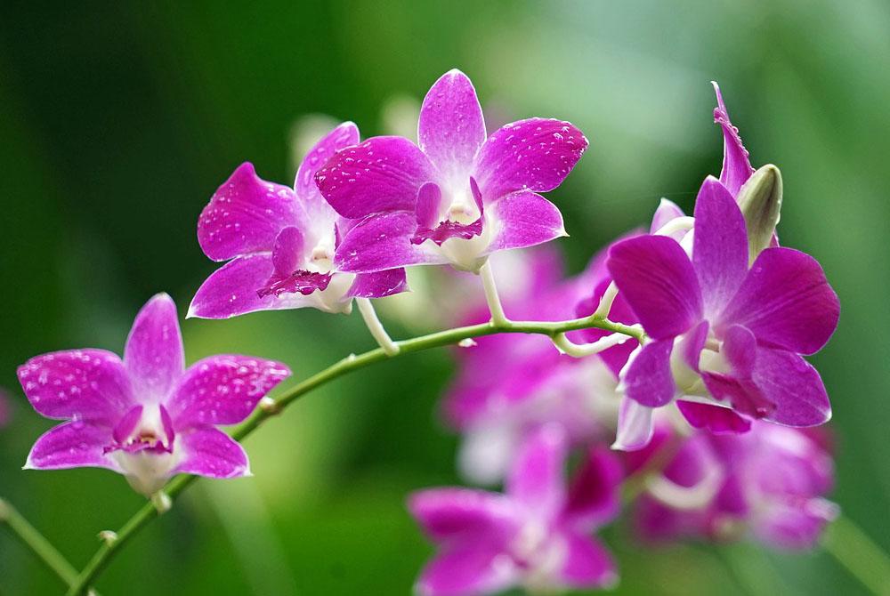 Orchid es esp ces soins et conseils d 39 entretien aquarelle - Orchidee entretien apres floraison ...