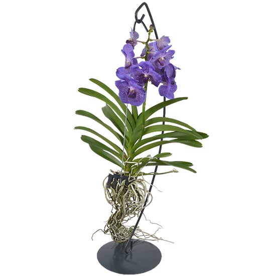 comment entretenir une orchid e vanda aquarelle. Black Bedroom Furniture Sets. Home Design Ideas
