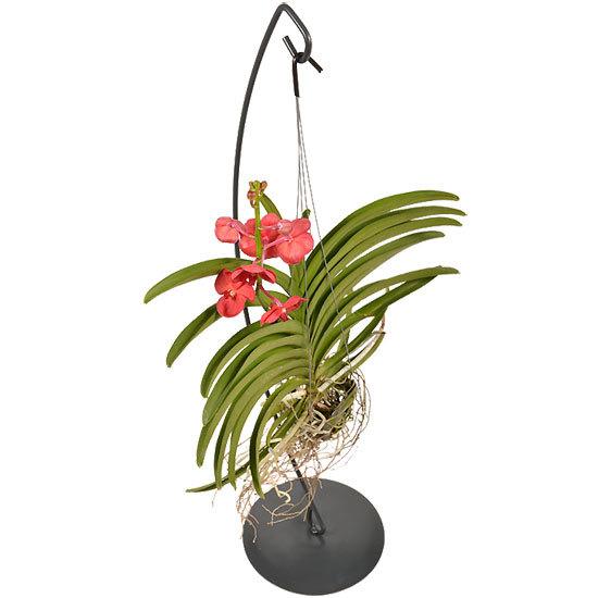Orchidée Vanda Bordeaux