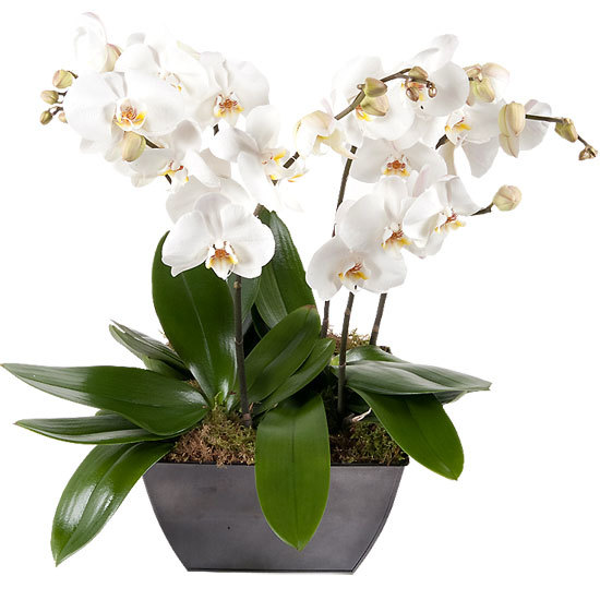 Luxueuses orchidées blanches