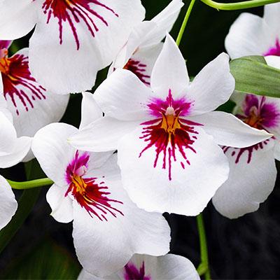 Orchidée Miltonia blanc