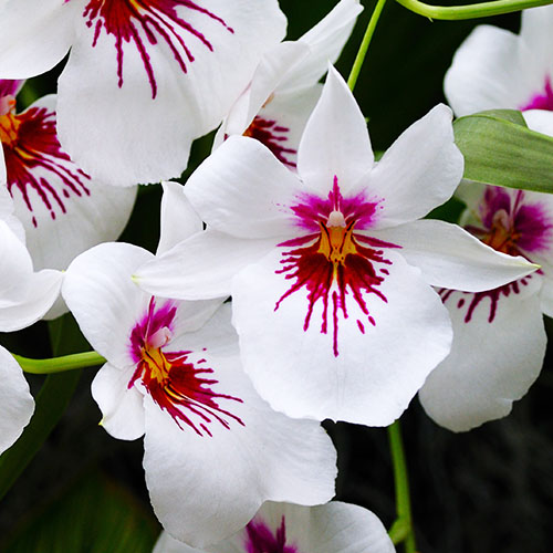 Miltonia blanc