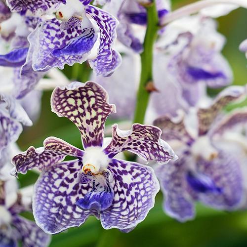 orchid es esp ces soins et conseils d 39 entretien aquarelle. Black Bedroom Furniture Sets. Home Design Ideas