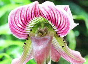 Paphiopedilum rose
