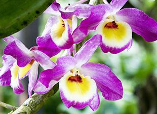 Dendrobium fuchsia et jaune