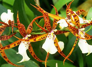 Orchidée Brassia rouge