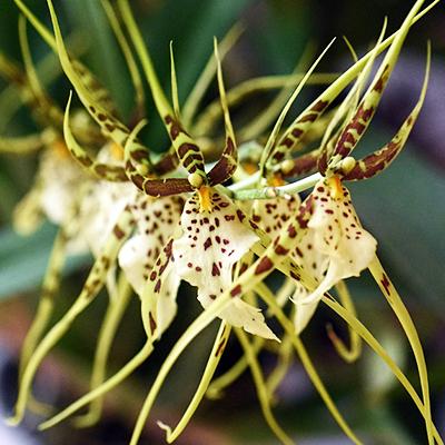 Orchidée Brassia