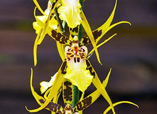 Orchidée Brassia jaune