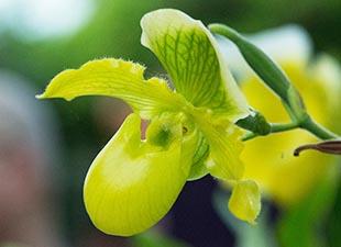 Paphiopedilum vert