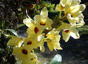 Dendrobium jaune