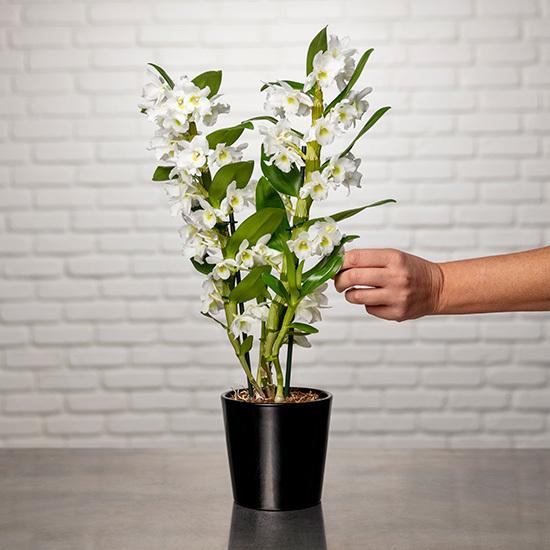 Orchidée Dendrobium Nobile
