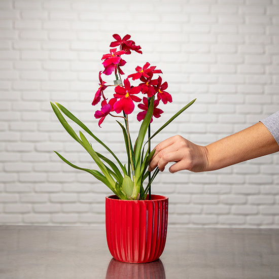 Orchidée Cambria Nelly Isler