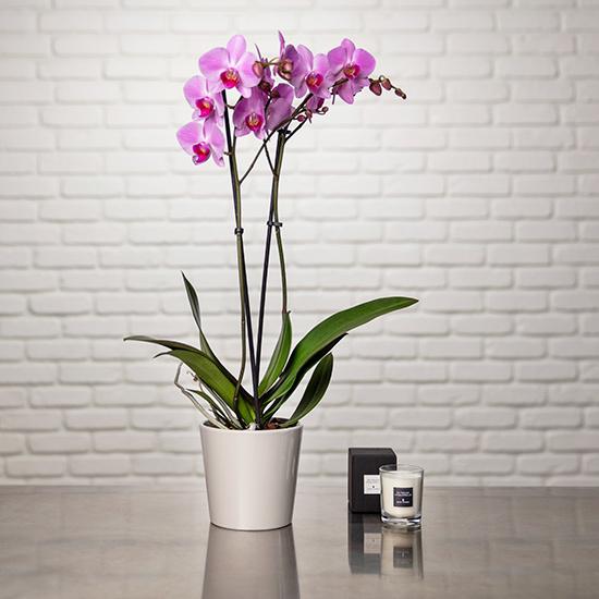 Orchidée Phalaenopsis rose